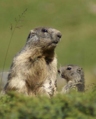 Marmotta - caccia alpina alla marmotta