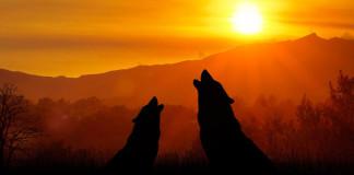 Life mirco lupo appennino tosco emiliano