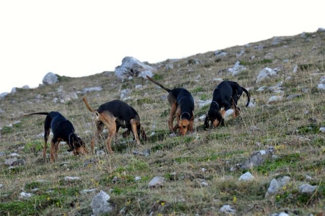 segugio italiano caccia alla lepre