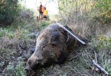 Caccia al cinghiale in Liguria