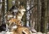 Emergenza lupi
