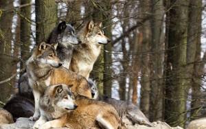 Censimento dei lupi