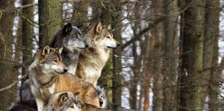 Questione lupi
