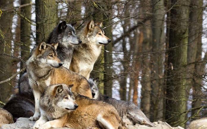Cinghiali e lupi