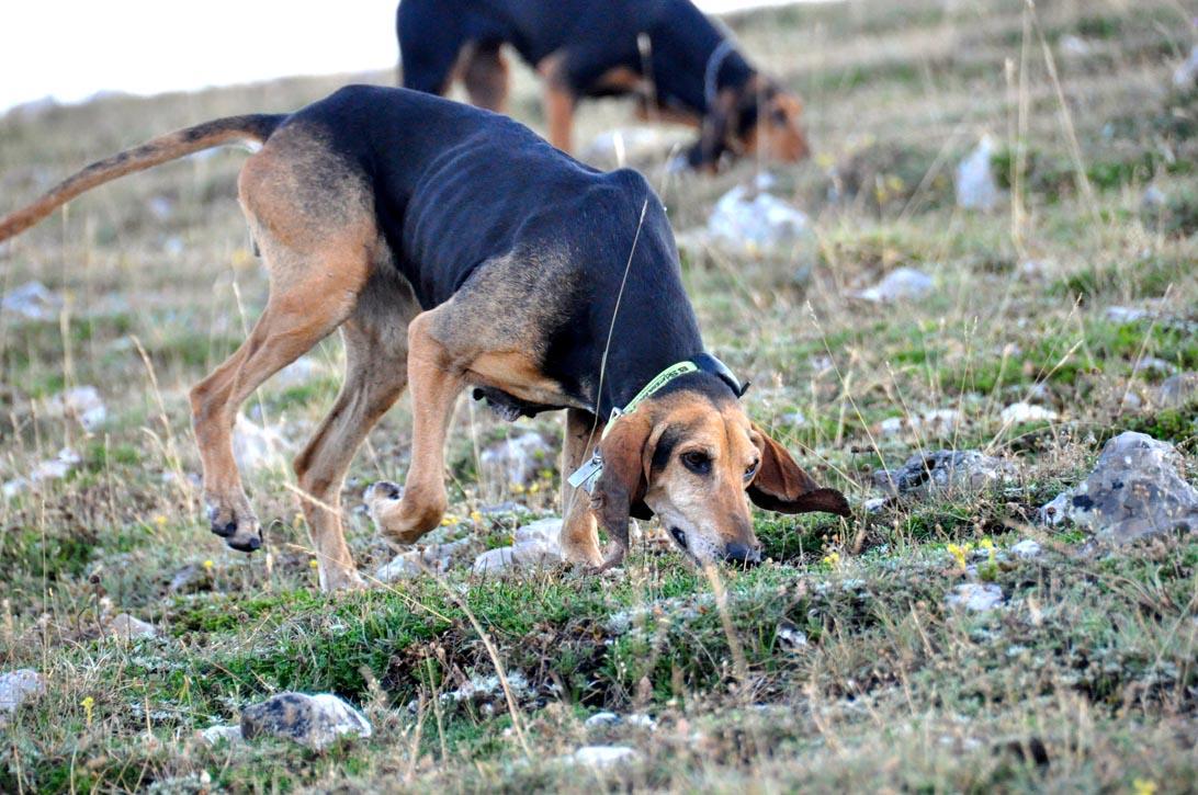 Caccia Al Cinghiale Laddestramento Del Cane Da Seguita Caccia