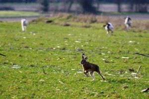 Cani da seguita su lepre
