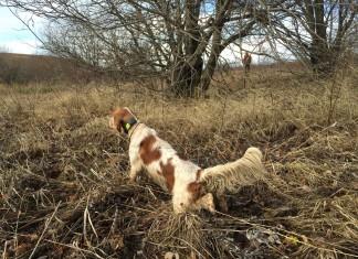 preparazione cani da caccia