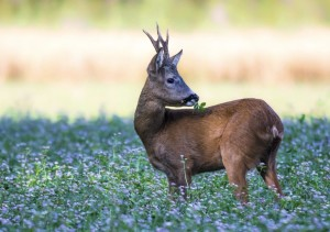 caccia a caprioli, cervi e mufloni