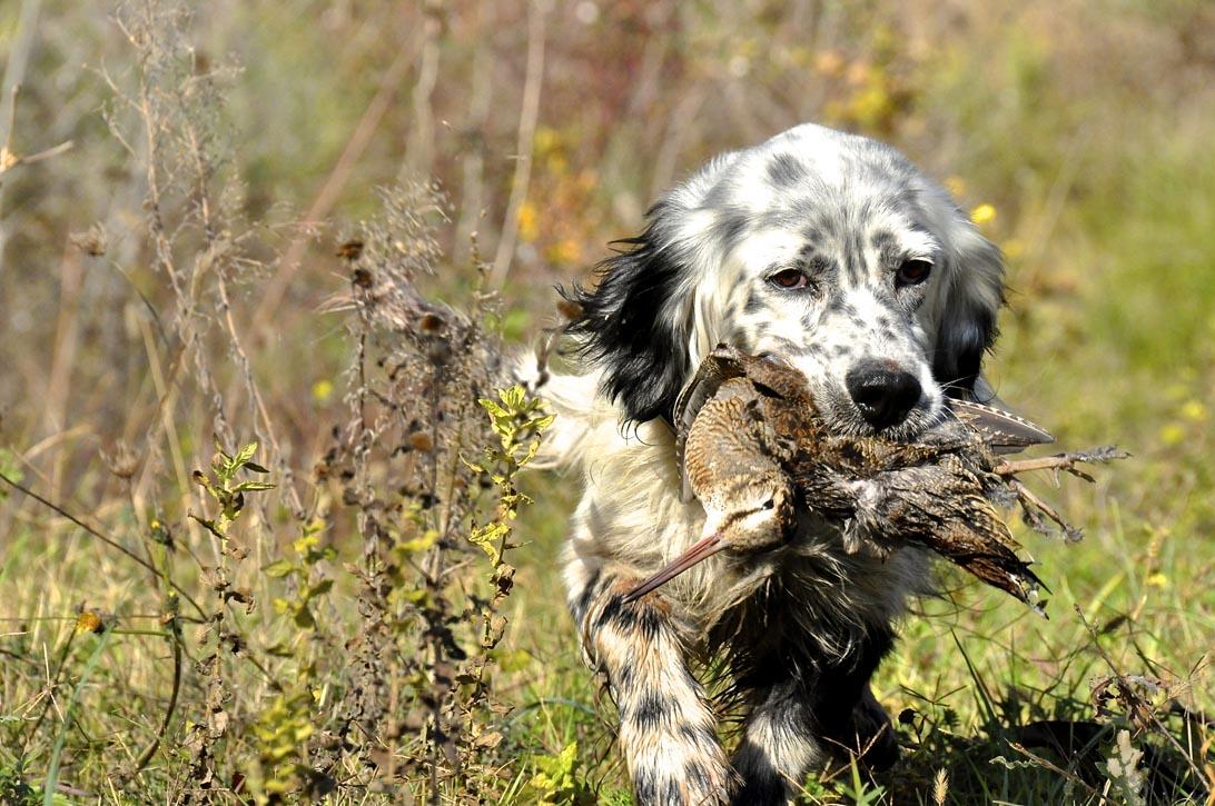 Beccaccia l emozione nella caccia caccia passione for Cane nella cabina dell aereo