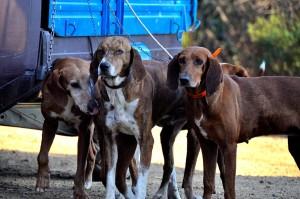 Migliori cani da caccia