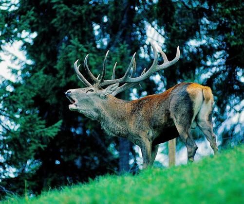 Caccia selettiva al cervo