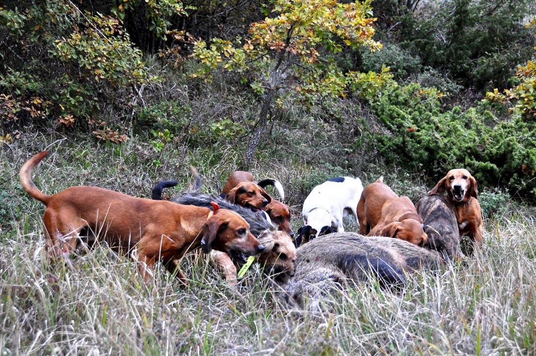 I cani accorrono sul cinghiale fermato alle poste