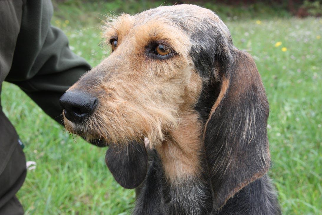 Segugi cani da seguita la selezione caccia passione for Piccolo in francese