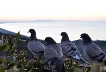 Campi rovinati dai piccioni