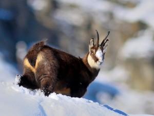 Trofei di fauna alpina