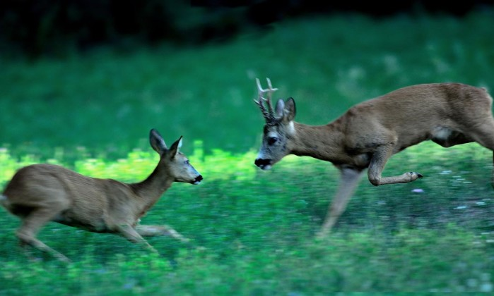 caccia al capriolo maschio