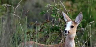 Caccia di selezione a cervi e caprioli