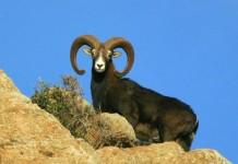 Mufloni all'Isola d'Elba