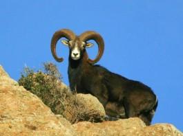 Eradicazione di mufloni e cinghiali