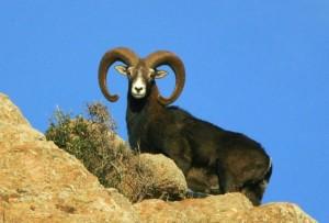 Caccia di selezione ai mufloni