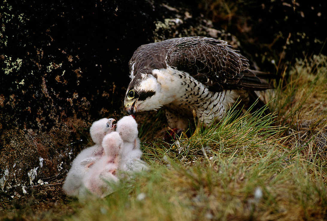 Falco Pellegrino sul nido con pulli2