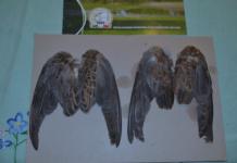 Raccolta delle ali delle tortore