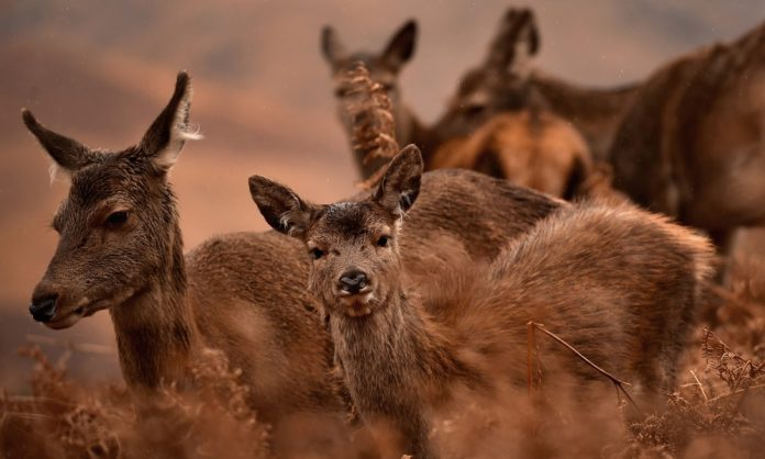 Femmine di cervo reale