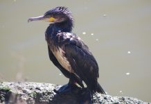 Contenimento dei cormorani