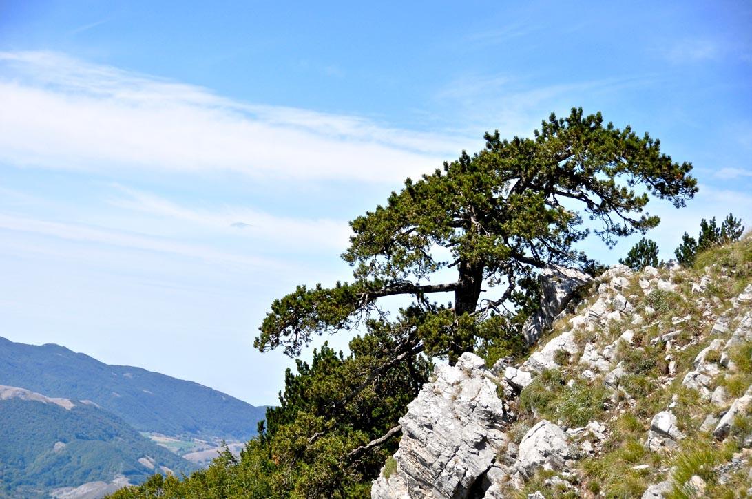 Il pino loricato, emblema del Parco Nazionale del Pollino