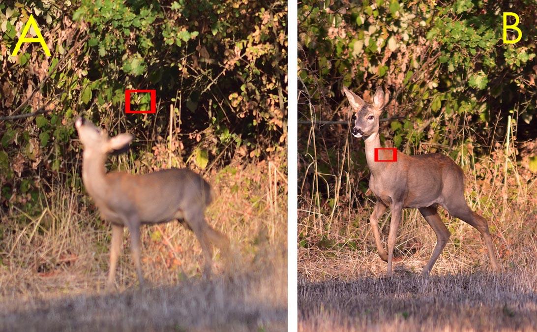 Anche in queste due foto la messa a fuoco è sullo sfondo (foto A) e sul capriolo (foto B) che era il punto desiderato.