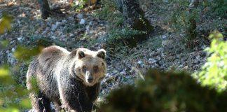 Gestione dell'orso