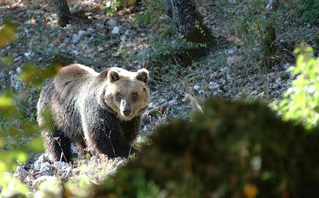Un orso marsicano all'interno dei Parchi Nazionali di Abruzzo e Majella