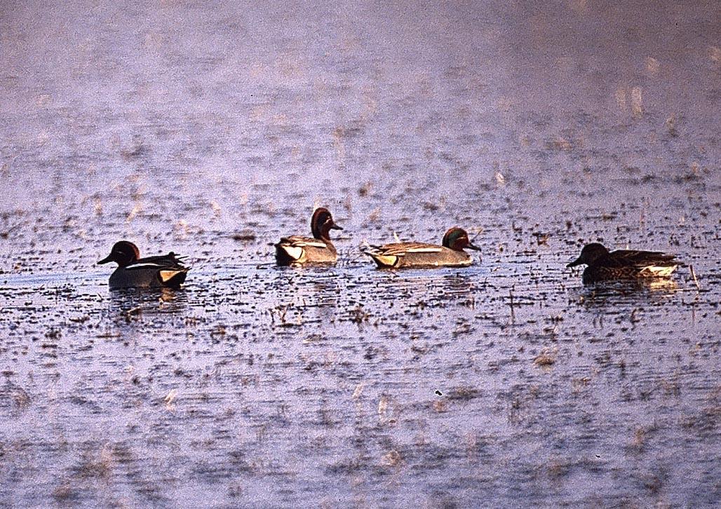 Alzavole in pastura. La specie predilige acque basse. E' la più piccola fra le anitre cacciabili, dotata di un volo molto veloce.