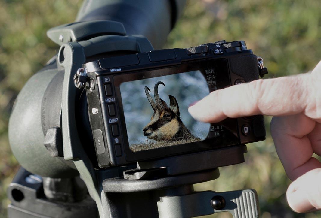 Nel display della fotocamera il primissimo piano di un camoscio maschio adulto.