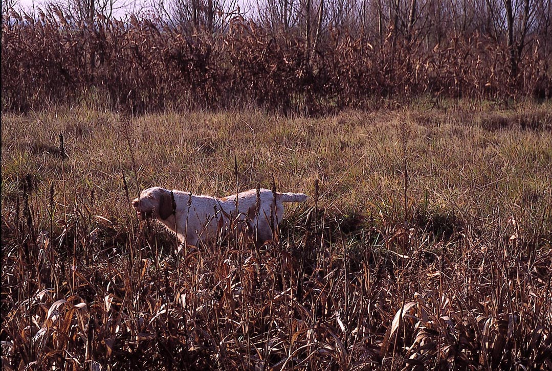 spinone italiano in ferma