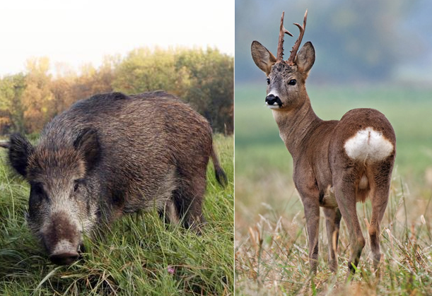 Carni di selvaggina