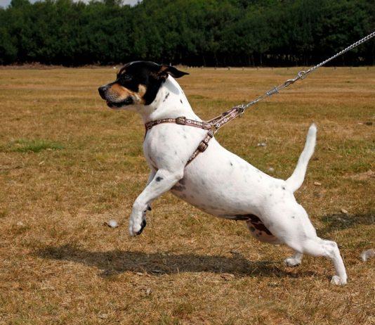 cani da caccia al guinzaglio