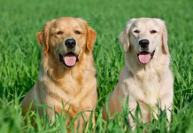 labrador golden