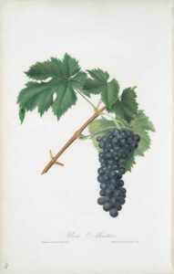un grappolo di uva di vitigno rosso aleatico