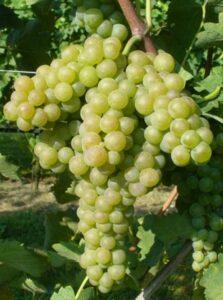 uve verdicchio